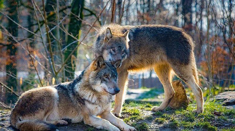 Jest zgoda GDOŚ na odstrzał trzech wilków!