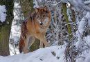 Co zrobić, gdy spotkasz wilka