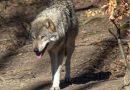 Wilki w gminie Jedlicze. Urzędnicy apelują o ostrożność
